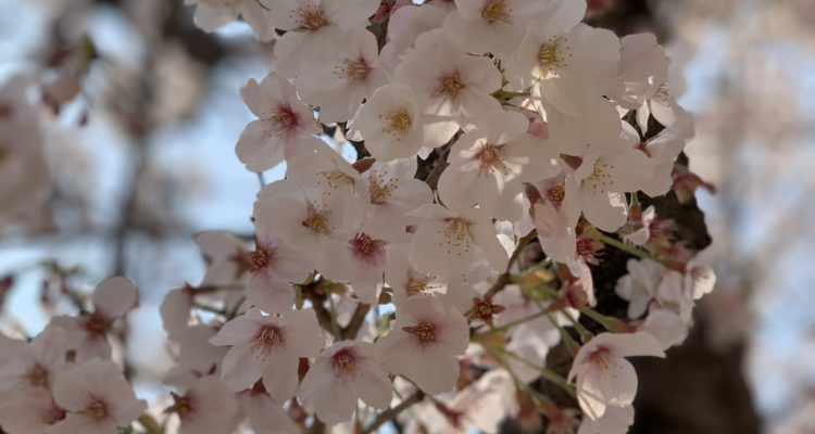 ikuta-river-cherry-blossom-1